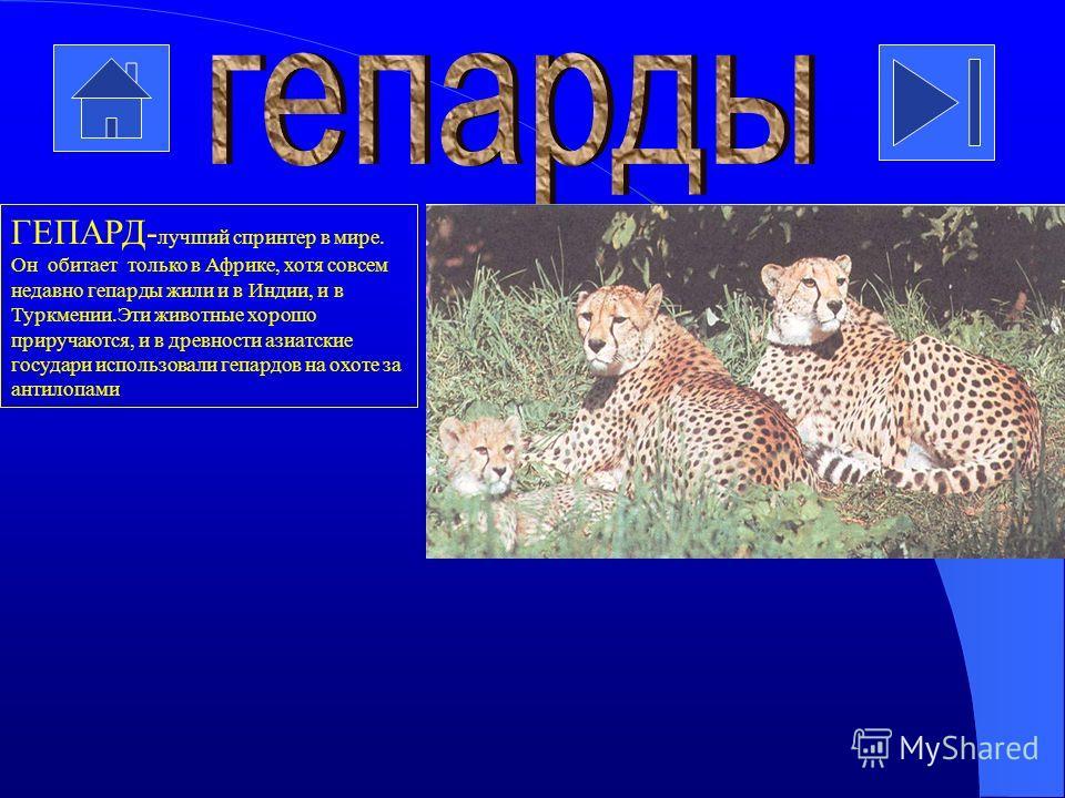 ЯГУАР-самая крупная кошка Америки. Там её называют тигром. По внешнему виду ягуар напоминает леопарда: по жёлто-оранжевому фону разбросаны чёрные пятна. Ягуары живут и в тропическом влажном лесу, и в зарослях кустарника, но всегда неподалёку от источ