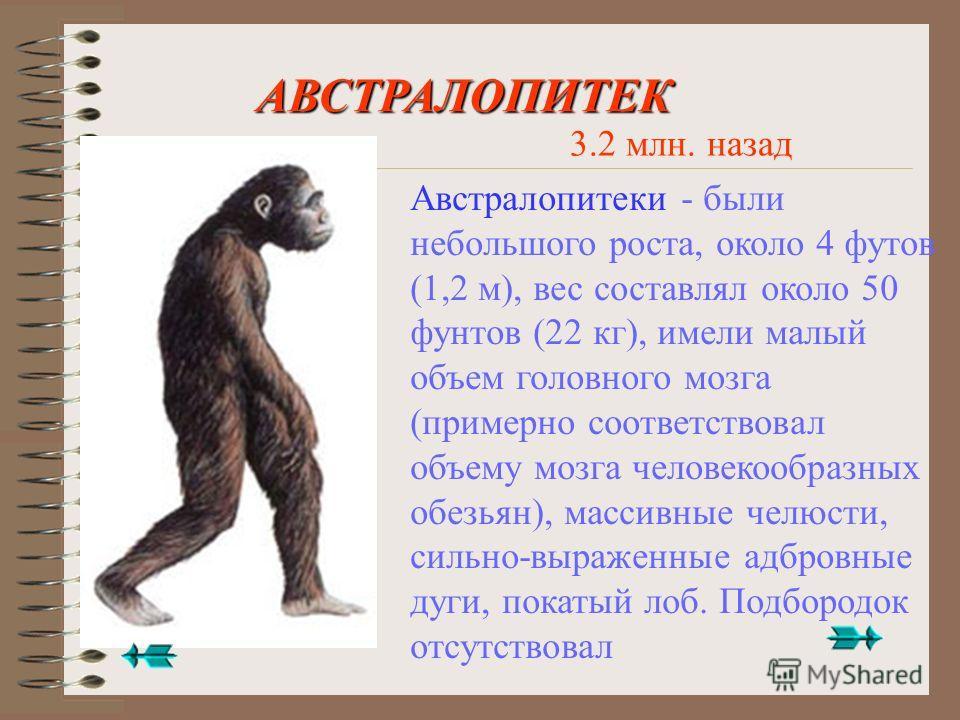 Австралопитек Человек умелый (Homo habilis) Неандерталец Кроманьонец Современный человек