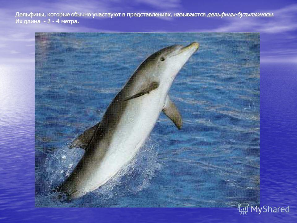 Дельфины, которые обычно участвуют в представлениях, называются дельфины- бутылконосы. Их длина - 2 - 4 метра. Дельфины, которые обычно участвуют в представлениях, называются дельфины-бутылконосы. Их длина - 2 - 4 метра.