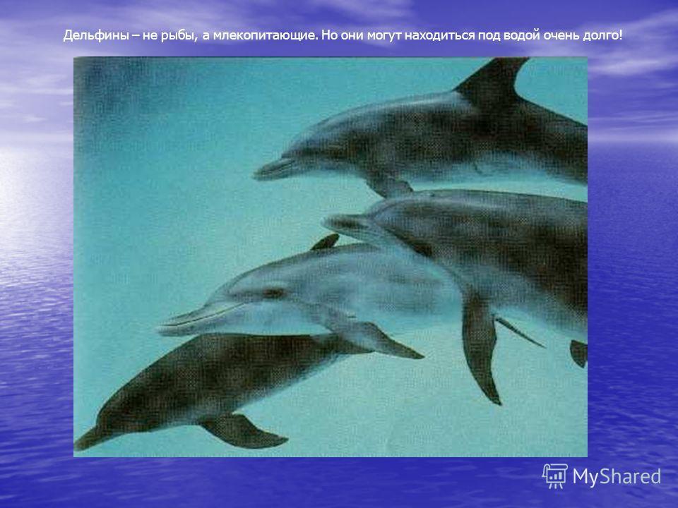 Дельфины – не рыбы, а млекопитающие. Но они могут находиться под водой очень долго!