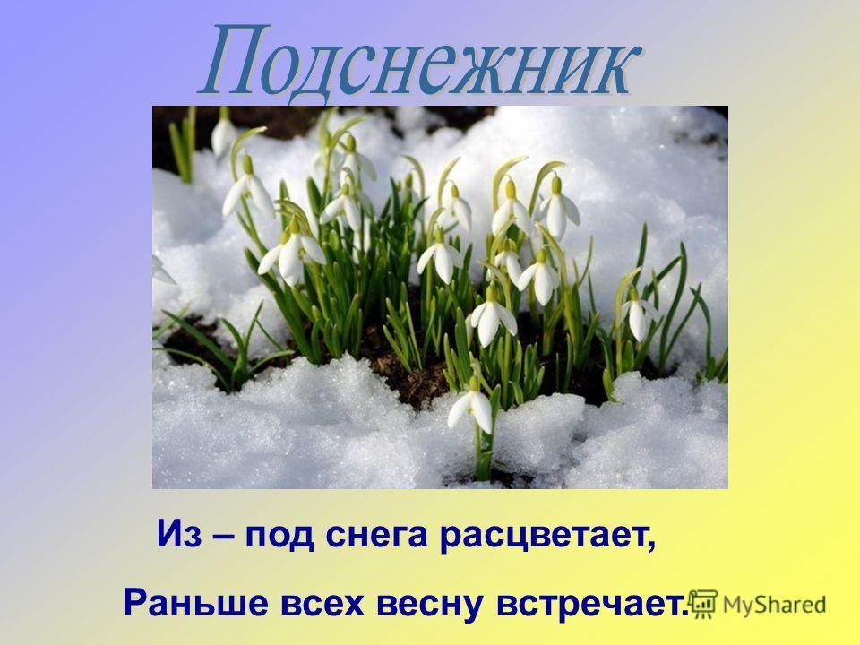 Из – под снега расцветает, Раньше всех весну встречает.