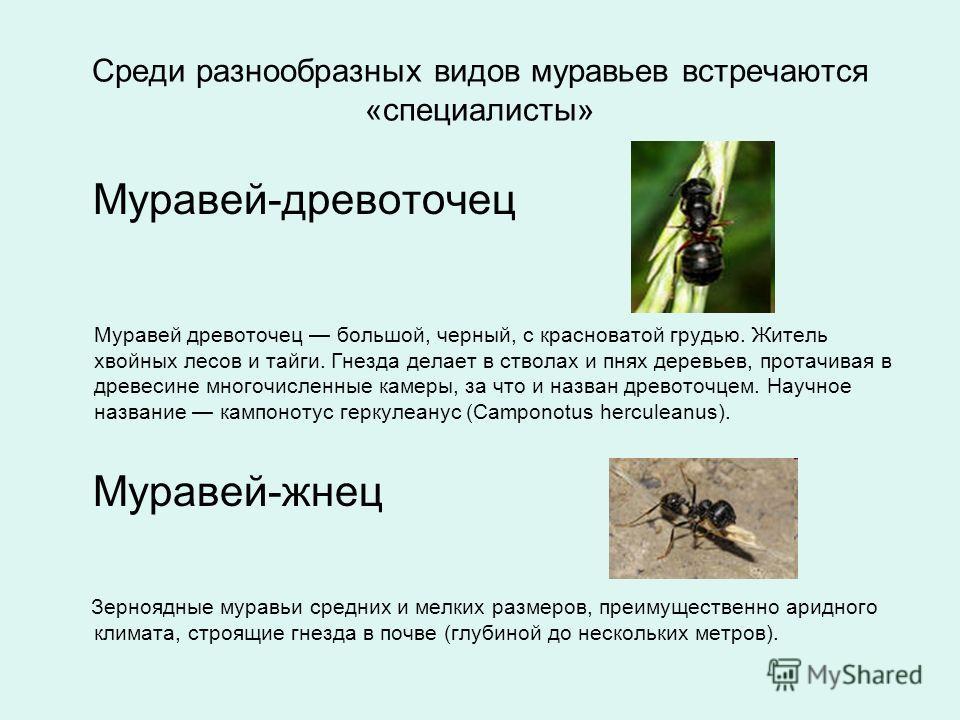 Среди разнообразных видов муравьев встречаются «специалисты» Муравей-древоточец Муравей древоточец большой, черный, с красноватой грудью. Житель хвойных лесов и тайги. Гнезда делает в стволах и пнях деревьев, протачивая в древесине многочисленные кам