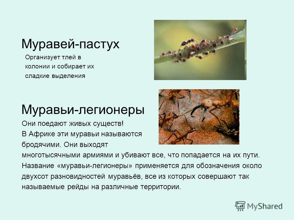 Муравей-пастух Организует тлей в колонии и собирает их сладкие выделения Муравьи-легионеры Они поедают живых существ! В Африке эти муравьи называются бродячими. Они выходят многотысячными армиями и убивают все, что попадается на их пути. Название «му