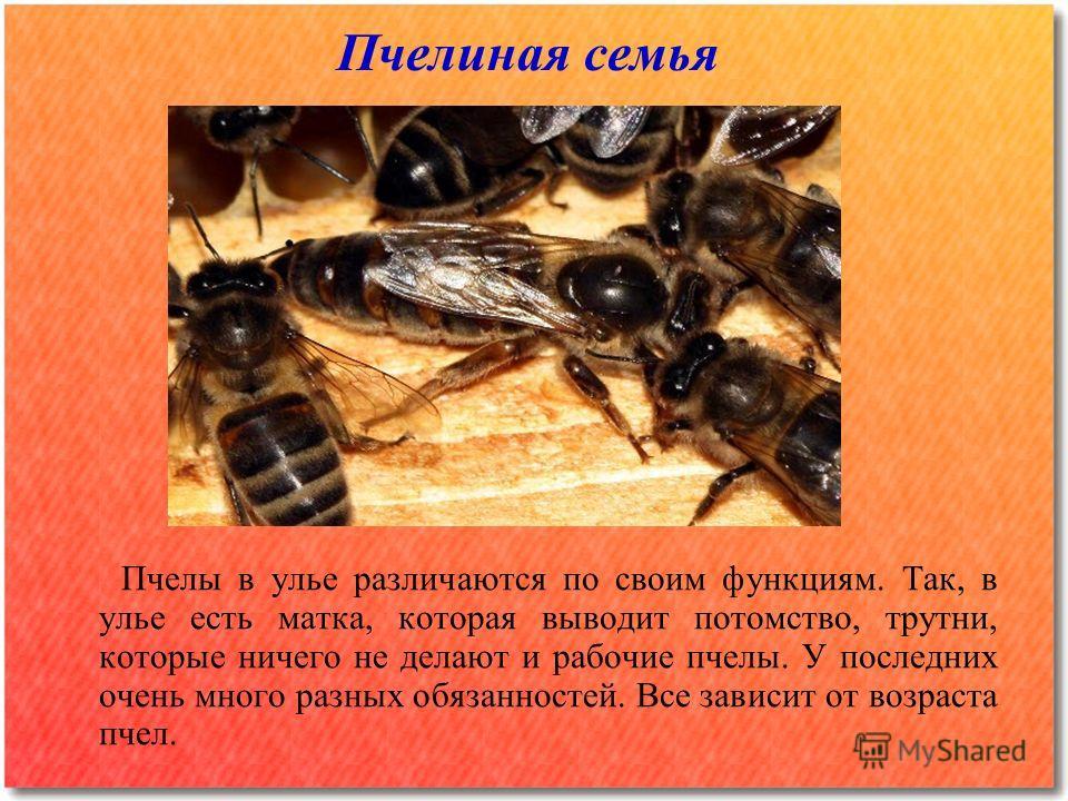 Пчелиная семья Пчелы в улье различаются по своим функциям. Так, в улье есть матка, которая выводит потомство, трутни, которые ничего не делают и рабочие пчелы. У последних очень много разных обязанностей. Все зависит от возраста пчел.
