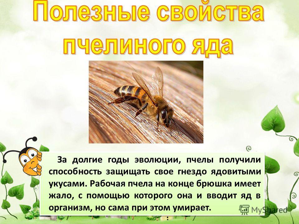 За долгие годы эволюции, пчелы получили способность защищать свое гнездо ядовитыми укусами. Рабочая пчела на конце брюшка имеет жало, с помощью которого она и вводит яд в организм, но сама при этом умирает.