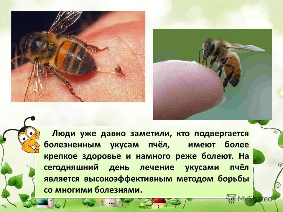 Люди уже давно заметили, кто подвергается болезненным укусам пчёл, имеют более крепкое здоровье и намного реже болеют. На сегодняшний день лечение укусами пчёл является высокоэффективным методом борьбы со многими болезнями.