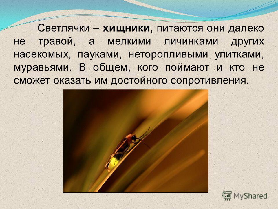 Светлячки – хищники, питаются они далеко не травой, а мелкими личинками других насекомых, пауками, неторопливыми улитками, муравьями. В общем, кого поймают и кто не сможет оказать им достойного сопротивления.