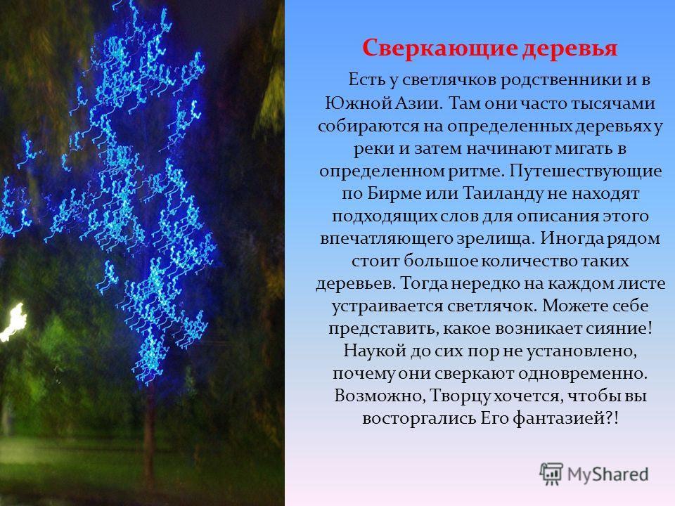 Сверкающие деревья Есть у светлячков родственники и в Южной Азии. Там они часто тысячами собираются на определенных деревьях у реки и затем начинают мигать в определенном ритме. Путешествующие по Бирме или Таиланду не находят подходящих слов для опис