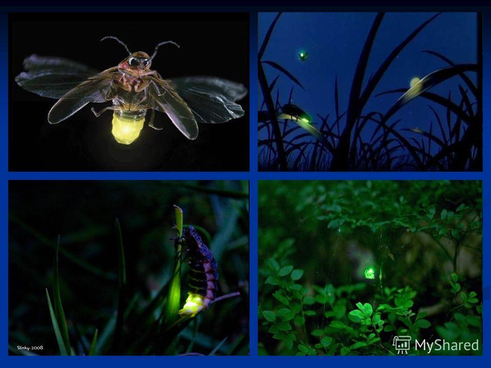 Живые фонарики Органы свечения светляков чаще всего расположены у самок на конце брюшка. Личинки и яйца у многих видов светляков тоже светятся, но слабо. Светляки способны уменьшать и увеличивать силу света или испускать прерывистый свет. Некоторые т