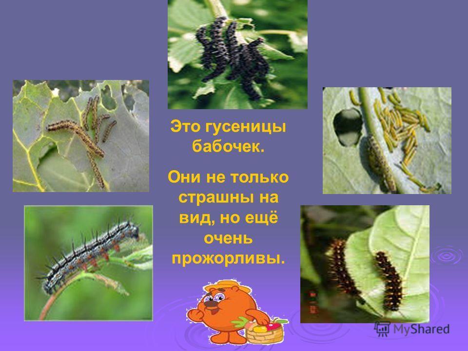Это гусеницы бабочек. Они не только страшны на вид, но ещё очень прожорливы.