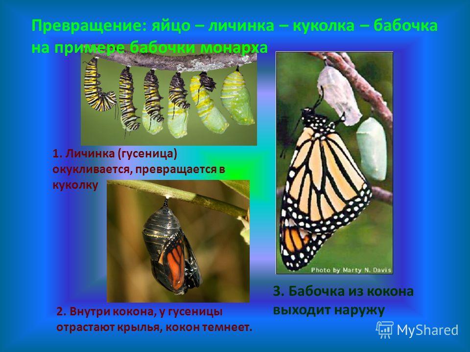 3. Бабочка из кокона выходит наружу 2. Внутри кокона, у гусеницы отрастают крылья, кокон темнеет. 1. Личинка (гусеница) окукливается, превращается в куколку Превращение: яйцо – личинка – куколка – бабочка на примере бабочки монарха