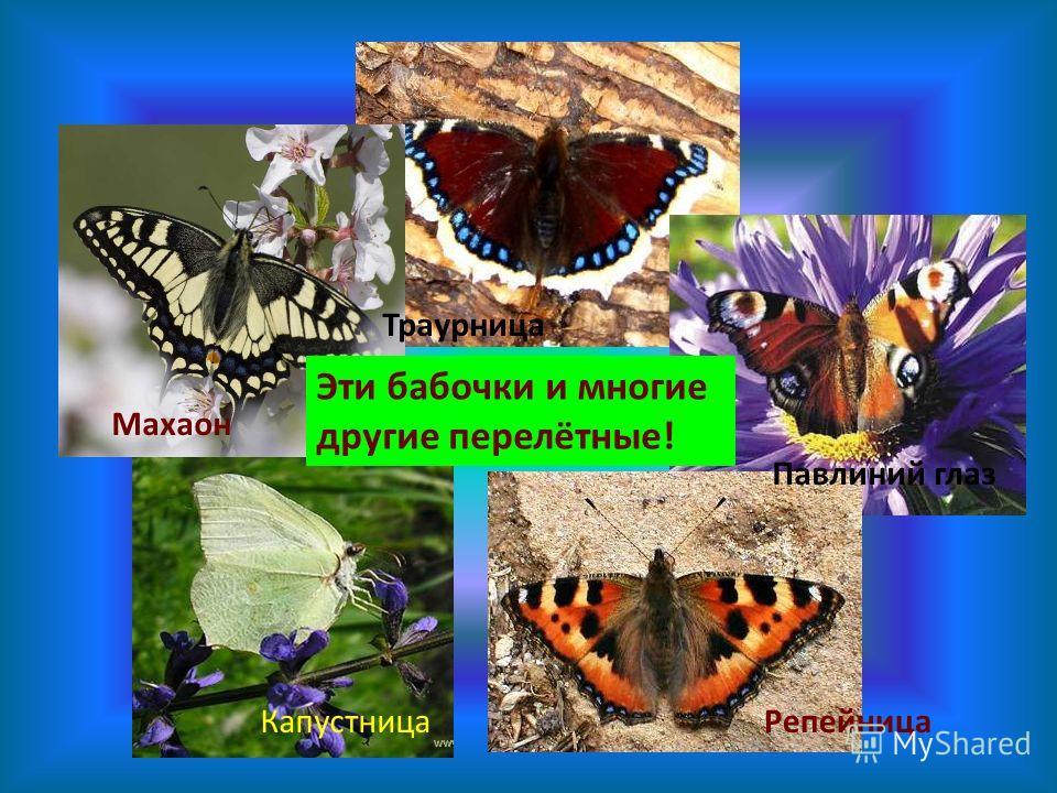 Махаон Репейница Павлиний глаз Капустница Эти бабочки и многие другие перелётные! Траурница