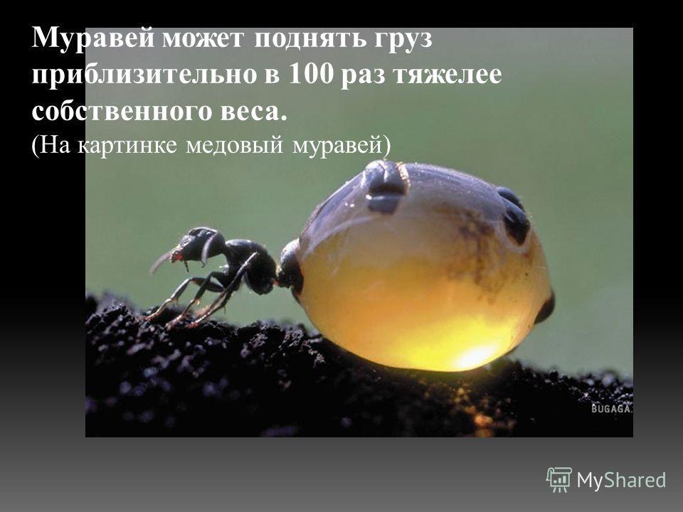 Муравей может поднять груз приблизительно в 100 раз тяжелее собственного веса. (На картинке медовый муравей)