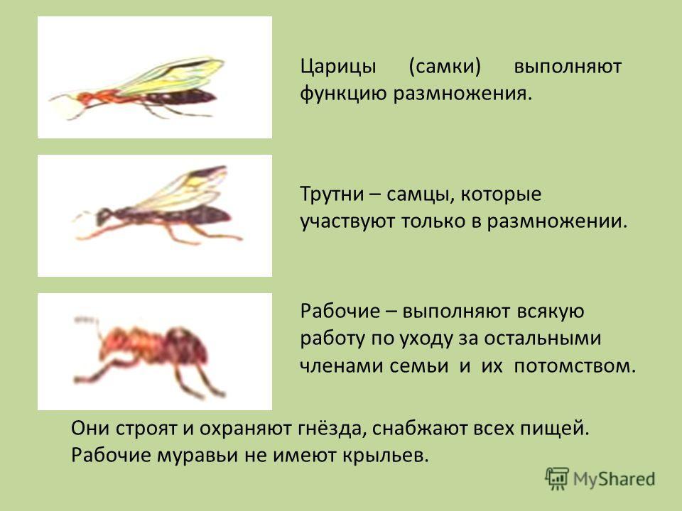 Царицы (самки) выполняют функцию размножения. Трутни – самцы, которые участвуют только в размножении. Рабочие – выполняют всякую работу по уходу за остальными членами семьи и их потомством. Они строят и охраняют гнёзда, снабжают всех пищей. Рабочие м