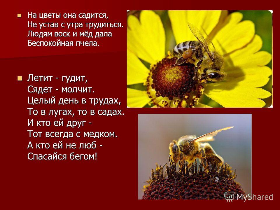 На цветы она садится, Не устав с утра трудиться. Людям воск и мёд дала Беспокойная пчела. На цветы она садится, Не устав с утра трудиться. Людям воск и мёд дала Беспокойная пчела. Летит - гудит, Сядет - молчит. Целый день в трудах, То в лугах, то в с