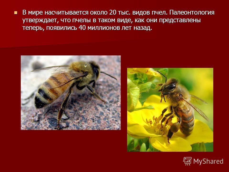 В мире насчитывается около 20 тыс. видов пчел. Палеонтология утверждает, что пчелы в таком виде, как они представлены теперь, появились 40 миллионов лет назад. В мире насчитывается около 20 тыс. видов пчел. Палеонтология утверждает, что пчелы в таком