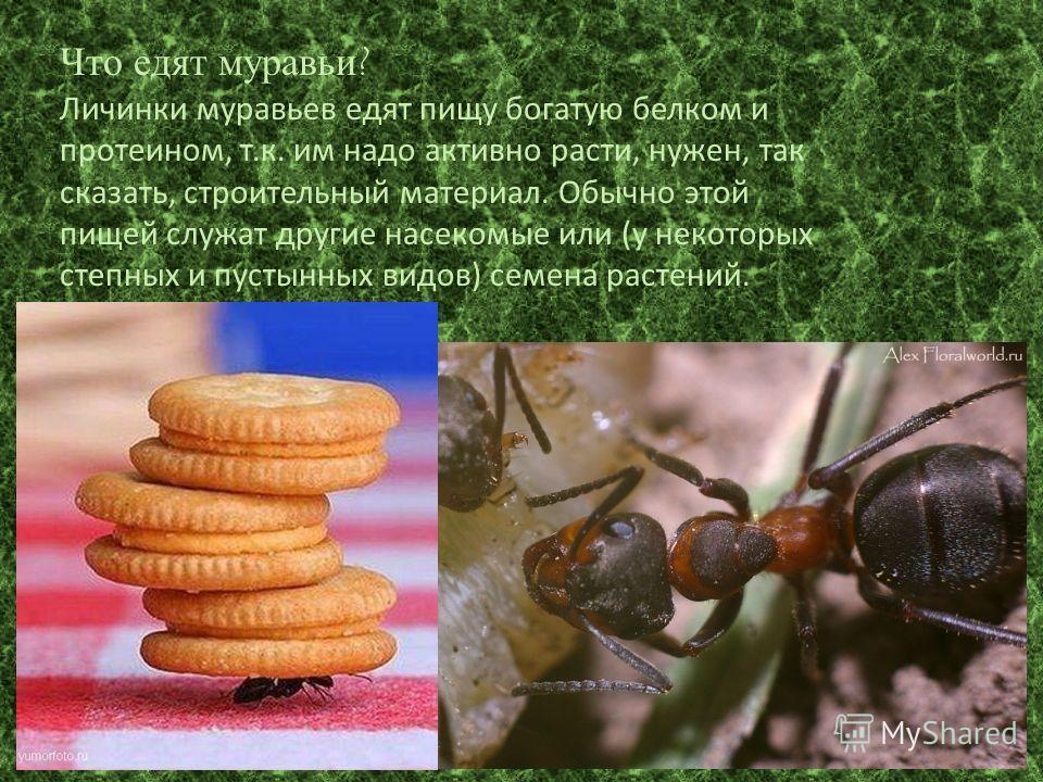 Что едят муравьи? Личинки муравьев едят пищу богатую белком и протеином, т.к. им надо активно расти, нужен, так сказать, строительный материал. Обычно этой пищей служат другие насекомые или (у некоторых степных и пустынных видов) семена растений.