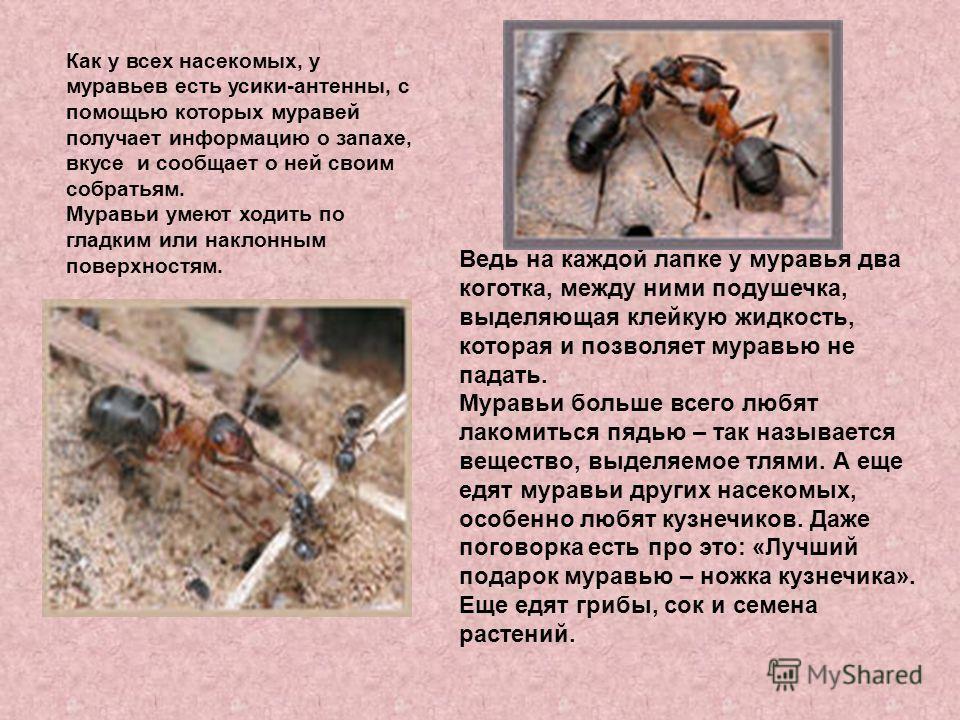 Как у всех насекомых, у муравьев есть усики-антенны, с помощью которых муравей получает информацию о запахе, вкусе и сообщает о ней своим собратьям. Муравьи умеют ходить по гладким или наклонным поверхностям. Ведь на каждой лапке у муравья два коготк
