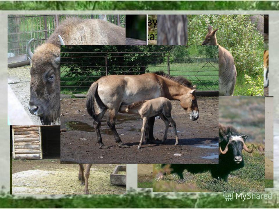 Здесь можно увидеть грозу усурийских лесов амурского тигра, полосатую африканскую лошадку - зебру, австралийских пернатых - лебедей, страуса эму и сумчатое животное - кенгуру, зубров, бизонов, лошадей Пржевальского, оленей.