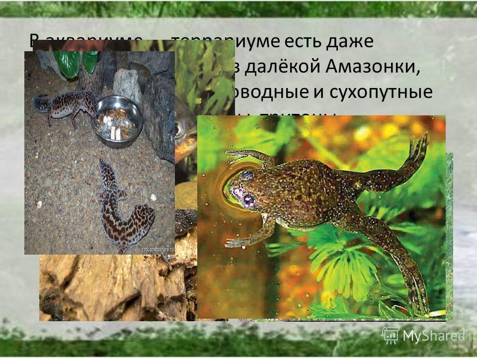 В аквариуме террариуме есть даже хищница пирания из далёкой Амазонки, долгожители пресноводные и сухопутные черепахи, серые вараны, тритоны, шпорцевые лягушки из Южной Африки, змеи.
