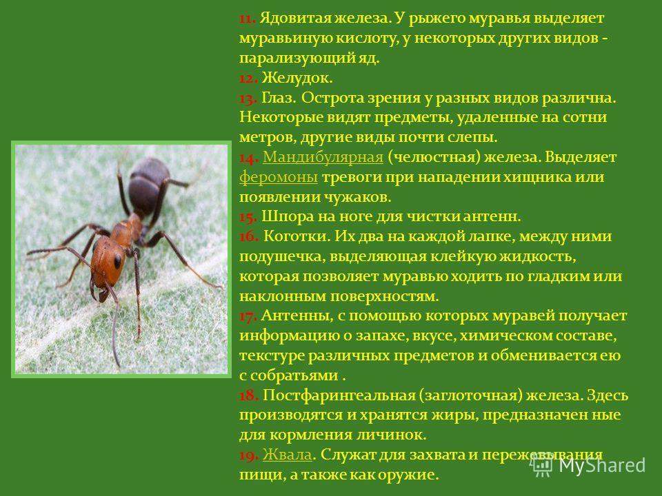 1. Мозг, состоящий примерно из 500 тысяч нейронов. 2. Кишечник. 3. Стебелек - узкая часть тела, соединяющая грудь с брюшком и придающая гибкость движениям насекомого. 4. Метаплевральная железа. Вырабатывает антибиотики, защищающие муравья от бактерий