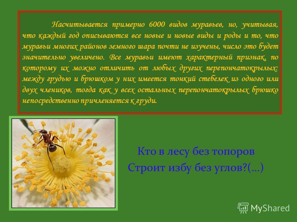 11. Ядовитая железа. У рыжего муравья выделяет муравьиную кислоту, у некоторых других видов - парализующий яд. 12. Желудок. 13. Глаз. Острота зрения у разных видов различна. Некоторые видят предметы, удаленные на сотни метров, другие виды почти слепы