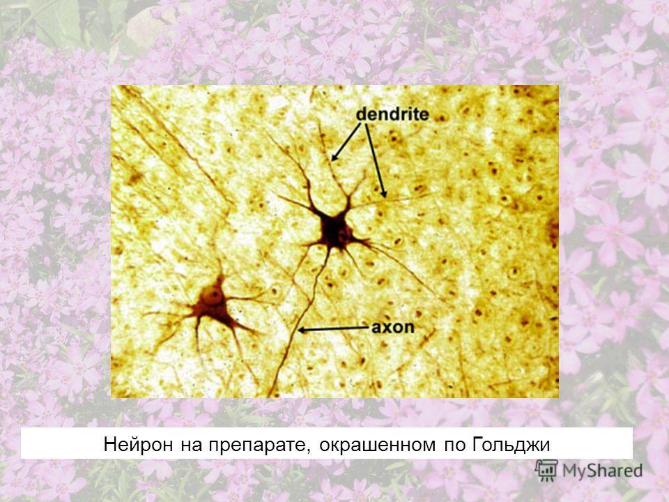 Нейрон на препарате, окрашенном по Гольджи