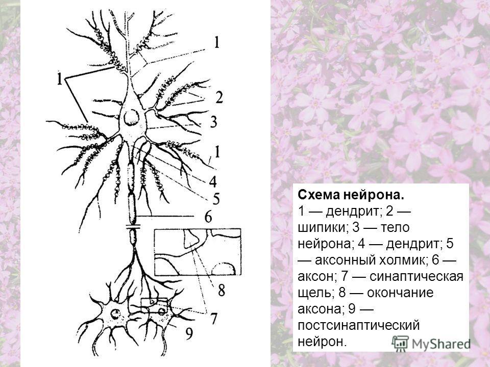 Схема нейрона. 1 дендрит; 2 шипики; 3 тело нейрона; 4 дендрит; 5 аксонный холмик; 6 аксон; 7 синаптическая щель; 8 окончание аксона; 9 постсинаптический нейрон.
