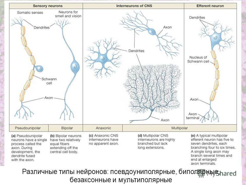 Различные типы нейронов: псевдоуниполярные, биполярные, безаксонные и мультиполярные