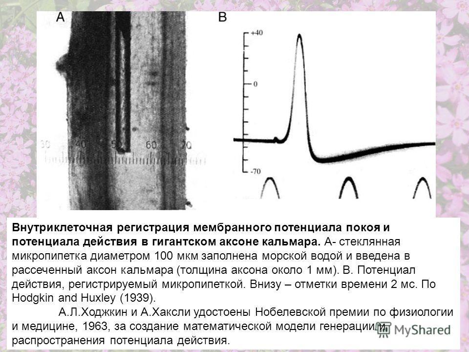 Внутриклеточная регистрация мембранного потенциала покоя и потенциала действия в гигантском аксоне кальмара. А- стеклянная микропипетка диаметром 100 мкм заполнена морской водой и введена в рассеченный аксон кальмара (толщина аксона около 1 мм). B. П