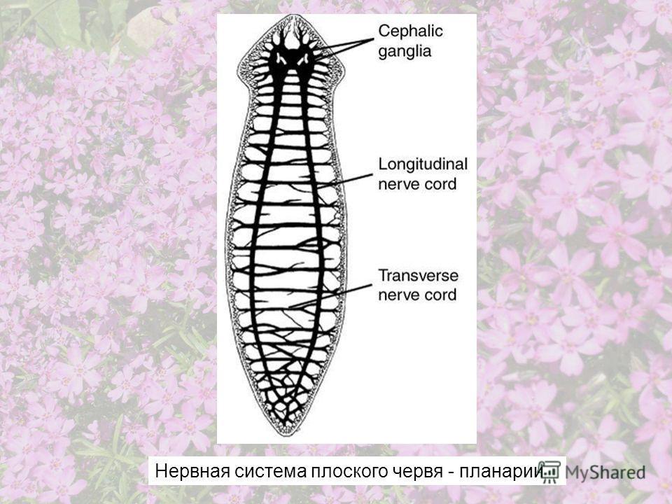 Нервная система плоского червя - планарии