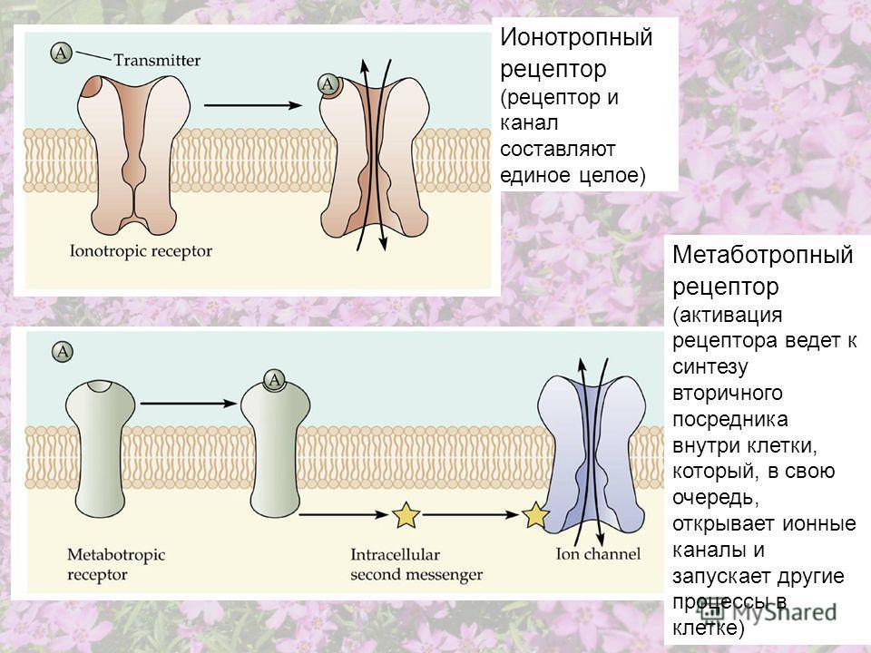 Метаботропный рецептор (активация рецептора ведет к синтезу вторичного посредника внутри клетки, который, в свою очередь, открывает ионные каналы и запускает другие процессы в клетке) Ионотропный рецептор (рецептор и канал составляют единое целое)
