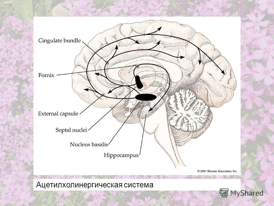 Ацетилхолинергическая система