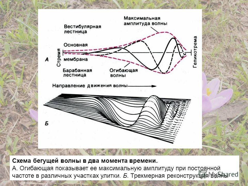 Схема бегущей волны в два момента времени. А. Огибающая показывает ее максимальную амплитуду при постоянной частоте в различных участках улитки. Б. Трехмерная реконструкция волны