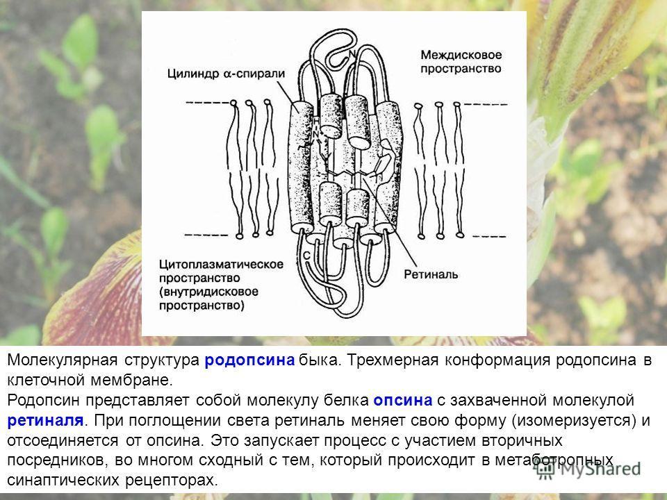 Молекулярная структура родопсина быка. Трехмерная конформация родопсина в клеточной мембране. Родопсин представляет собой молекулу белка опсина с захваченной молекулой ретиналя. При поглощении света ретиналь меняет свою форму (изомеризуется) и отсоед