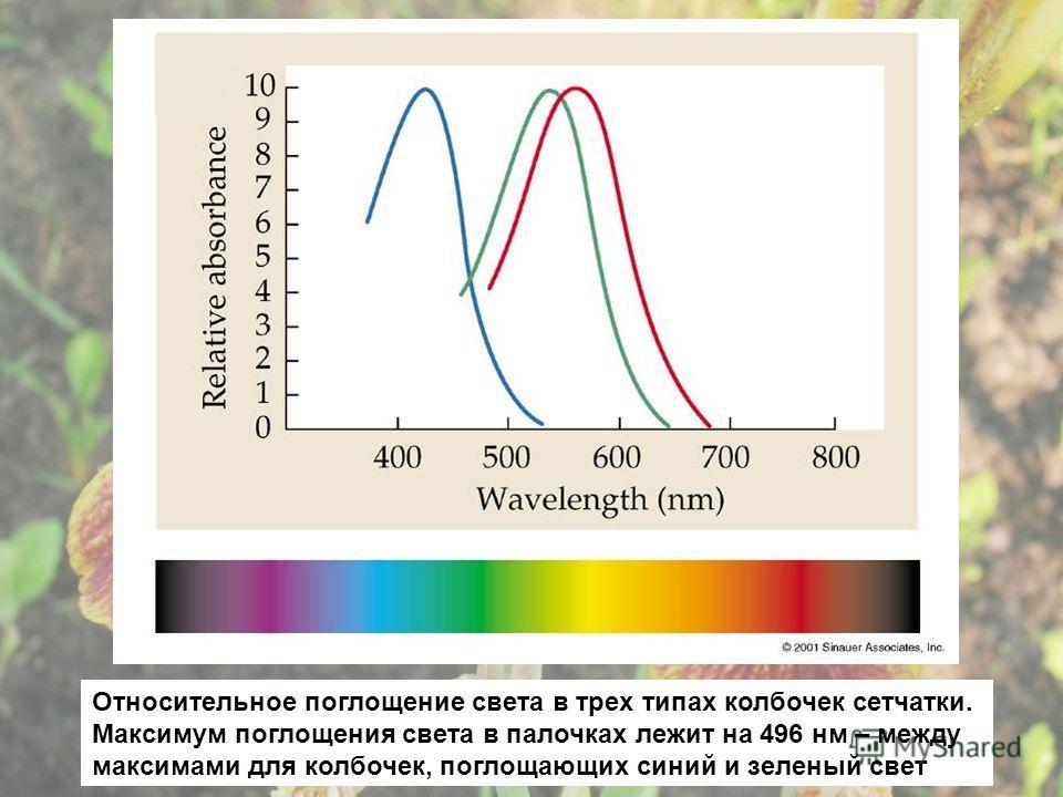 Относительное поглощение света в трех типах колбочек сетчатки. Максимум поглощения света в палочках лежит на 496 нм – между максимами для колбочек, поглощающих синий и зеленый свет