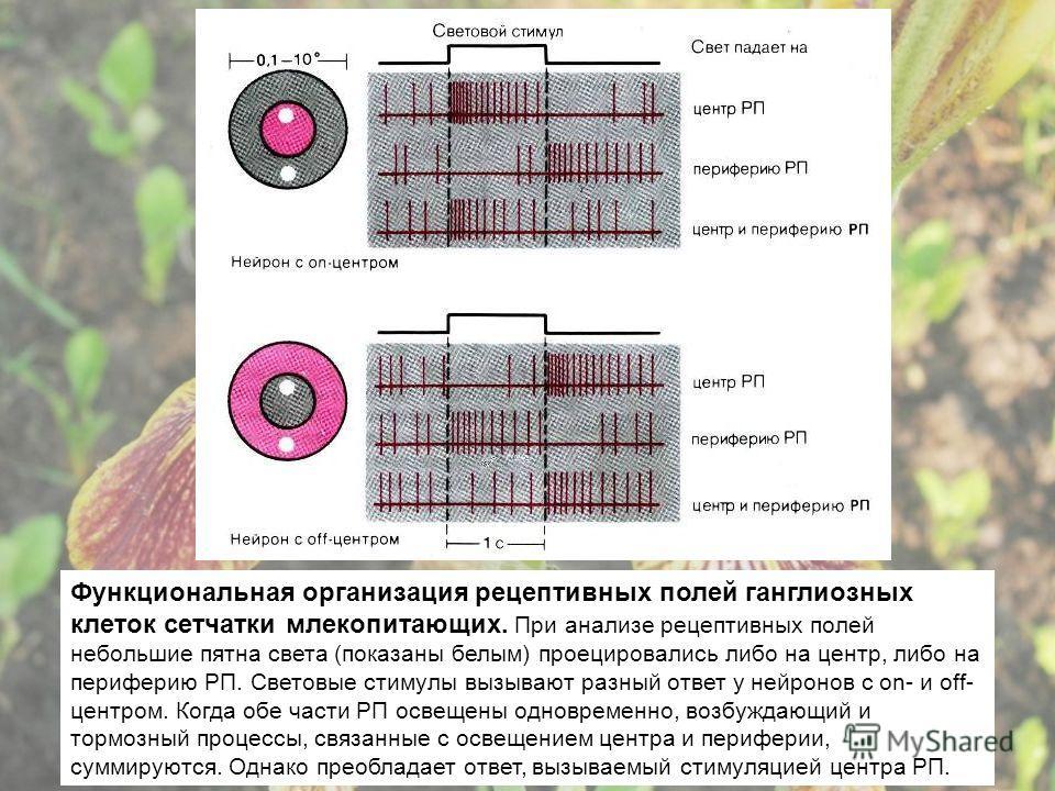 Функциональная организация рецептивных полей ганглиозных клеток сетчатки млекопитающих. При анализе рецептивных полей небольшие пятна света (показаны белым) проецировались либо на центр, либо на периферию РП. Световые стимулы вызывают разный ответ у
