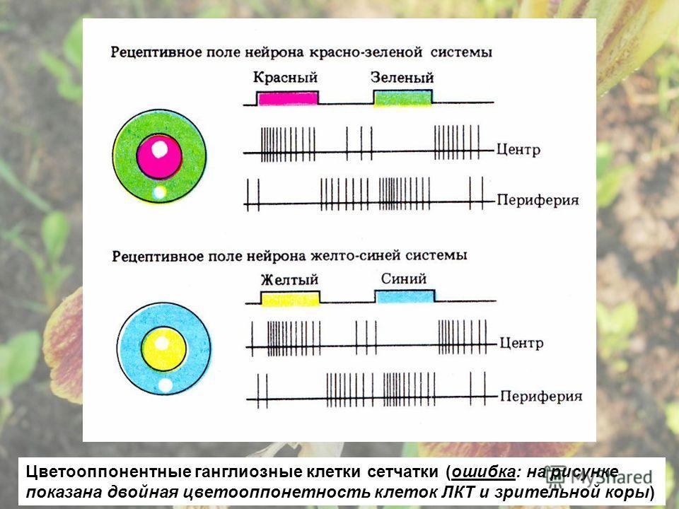Цветооппонентные ганглиозные клетки сетчатки (ошибка: на рисунке показана двойная цветооппонетность клеток ЛКТ и зрительной коры)