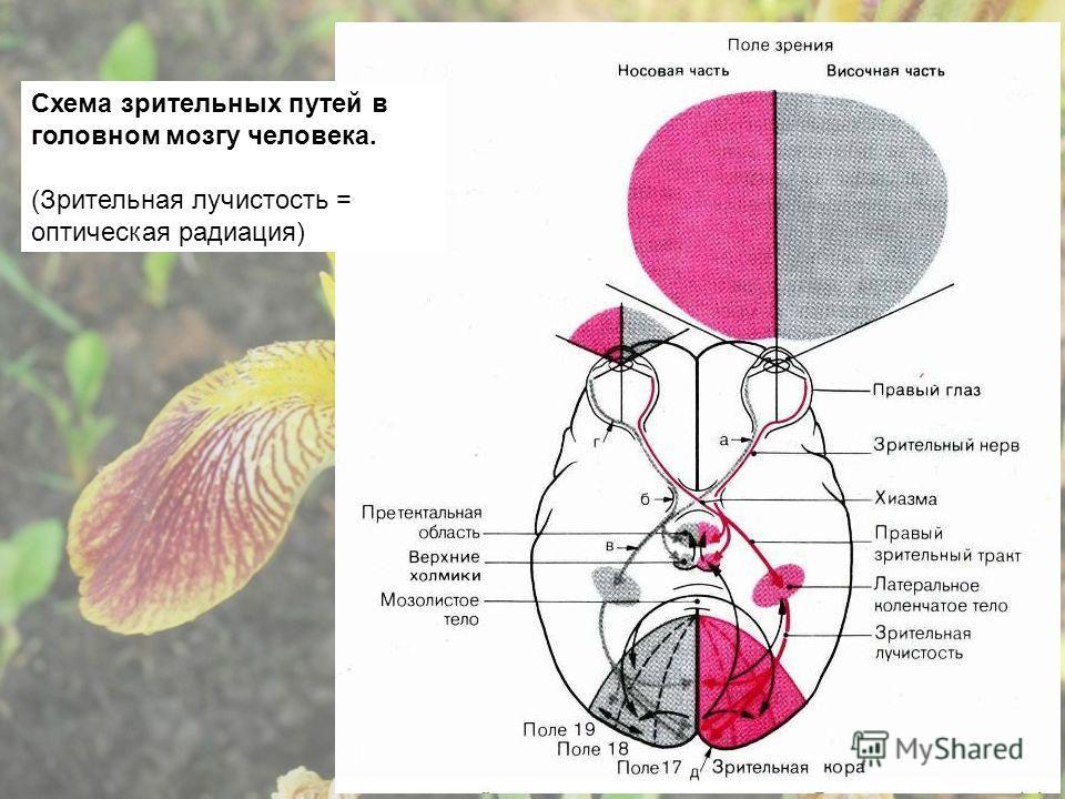Схема зрительных путей в головном мозгу человека. (Зрительная лучистость = оптическая радиация)