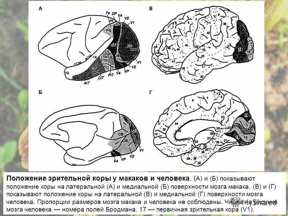 Положение зрительной коры у макаков и человека. ( А) и (Б) показывают положение коры на латеральной (А) и медиальной (Б) поверхности мозга макака. (В) и (Г) показывают положение коры на латеральной (В) и медиальной (Г) поверхности мозга человека. Про