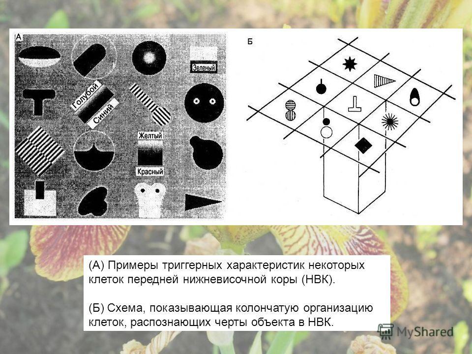 (А) Примеры триггерных характеристик некоторых клеток передней нижневисочной коры (НВК). (Б) Схема, показывающая колончатую организацию клеток, распознающих черты объекта в НВК.