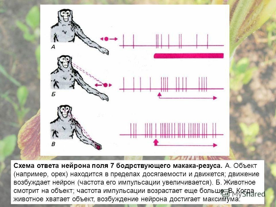 Схема ответа нейрона поля 7 бодрствующего макака-резуса. А. Объект (например, орех) находится в пределах досягаемости и движется; движение возбуждает нейрон (частота его импульсации увеличивается). Б. Животное смотрит на объект; частота импульсации в