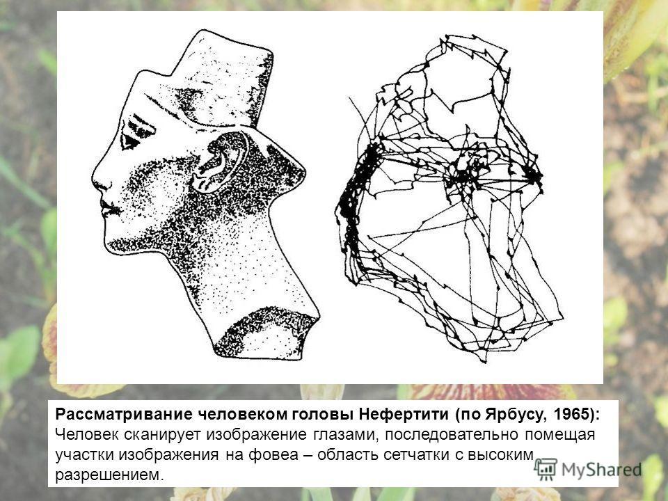 Рассматривание человеком головы Нефертити (по Ярбусу, 1965): Человек сканирует изображение глазами, последовательно помещая участки изображения на фовеа – область сетчатки с высоким разрешением.