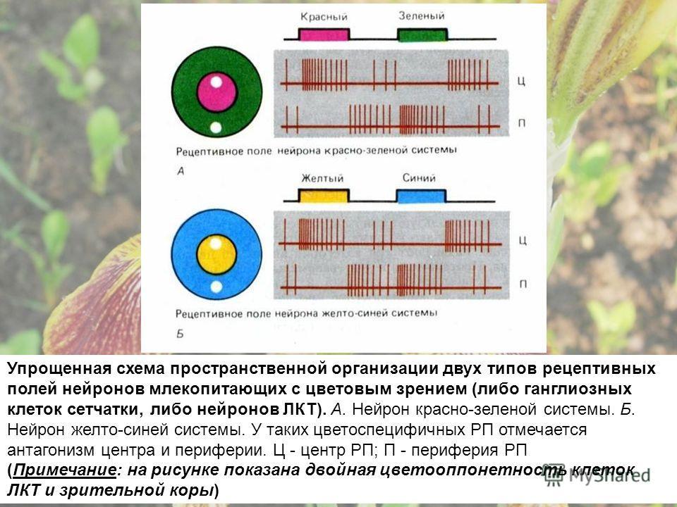 Упрощенная схема пространственной организации двух типов рецептивных полей нейронов млекопитающих с цветовым зрением (либо ганглиозных клеток сетчатки, либо нейронов ЛКТ). А. Нейрон красно-зеленой системы. Б. Нейрон желто-синей системы. У таких цвето