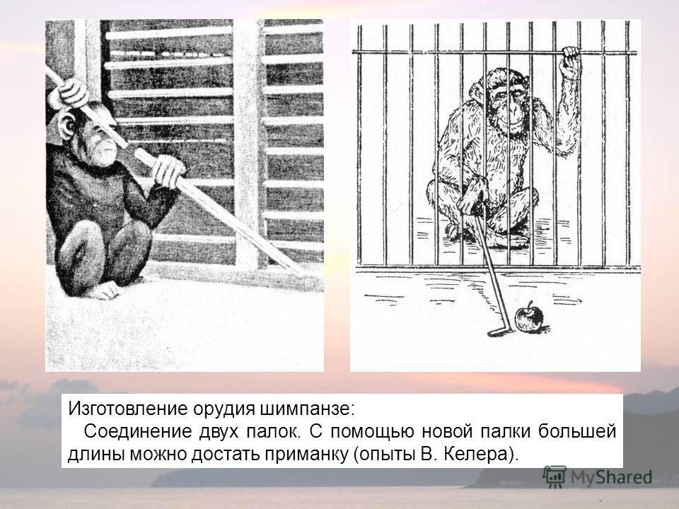 Изготовление орудия шимпанзе: Соединение двух палок. С помощью новой палки большей длины можно достать приманку (опыты В. Келера).