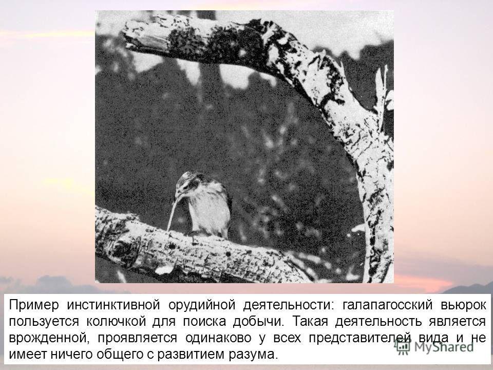 Пример инстинктивной орудийной деятельности: галапагосский вьюрок пользуется колючкой для поиска добычи. Такая деятельность является врожденной, проявляется одинаково у всех представителей вида и не имеет ничего общего с развитием разума.