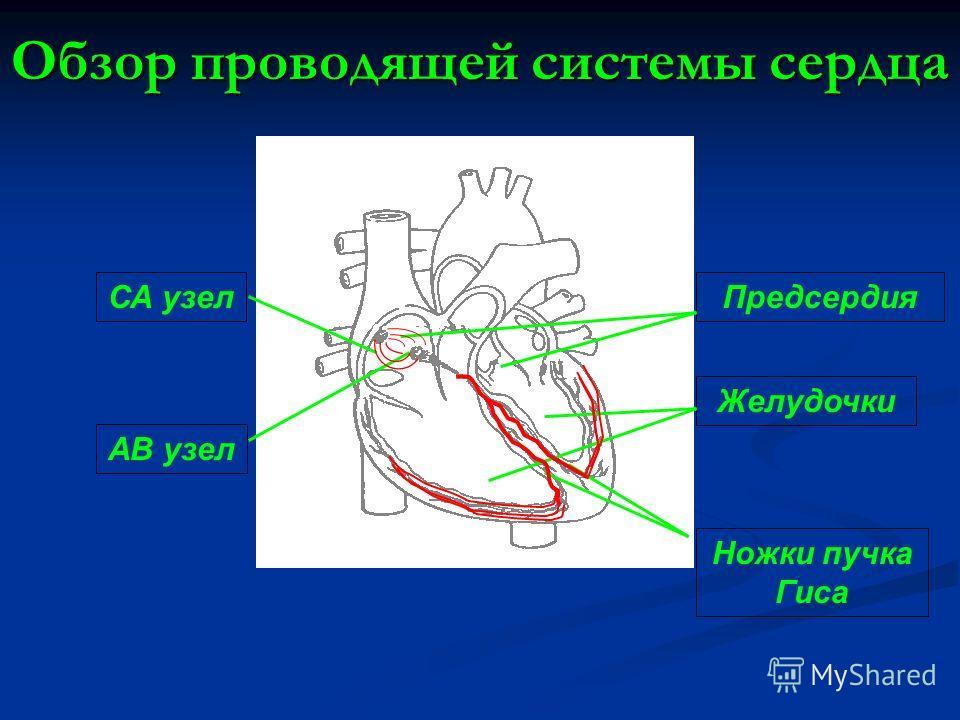 Предсердия Желудочки Ножки пучка Гиса АВ узел СА узел Обзор проводящей системы сердца