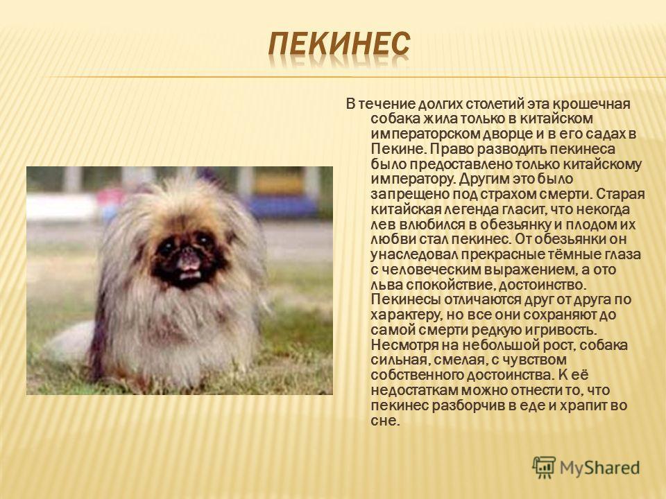 В течение долгих столетий эта крошечная собака жила только в китайском императорском дворце и в его садах в Пекине. Право разводить пекинеса было предоставлено только китайскому императору. Другим это было запрещено под страхом смерти. Старая китайск
