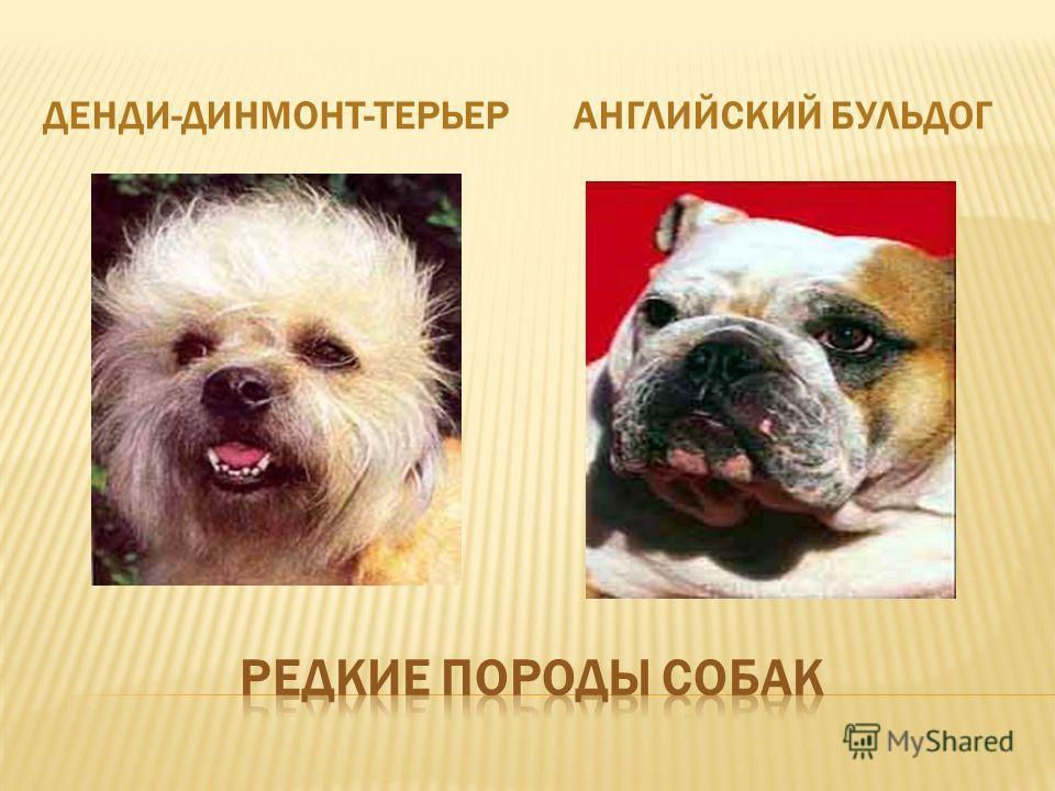 ДЕНДИ-ДИНМОНТ-ТЕРЬЕРАНГЛИЙСКИЙ БУЛЬДОГ
