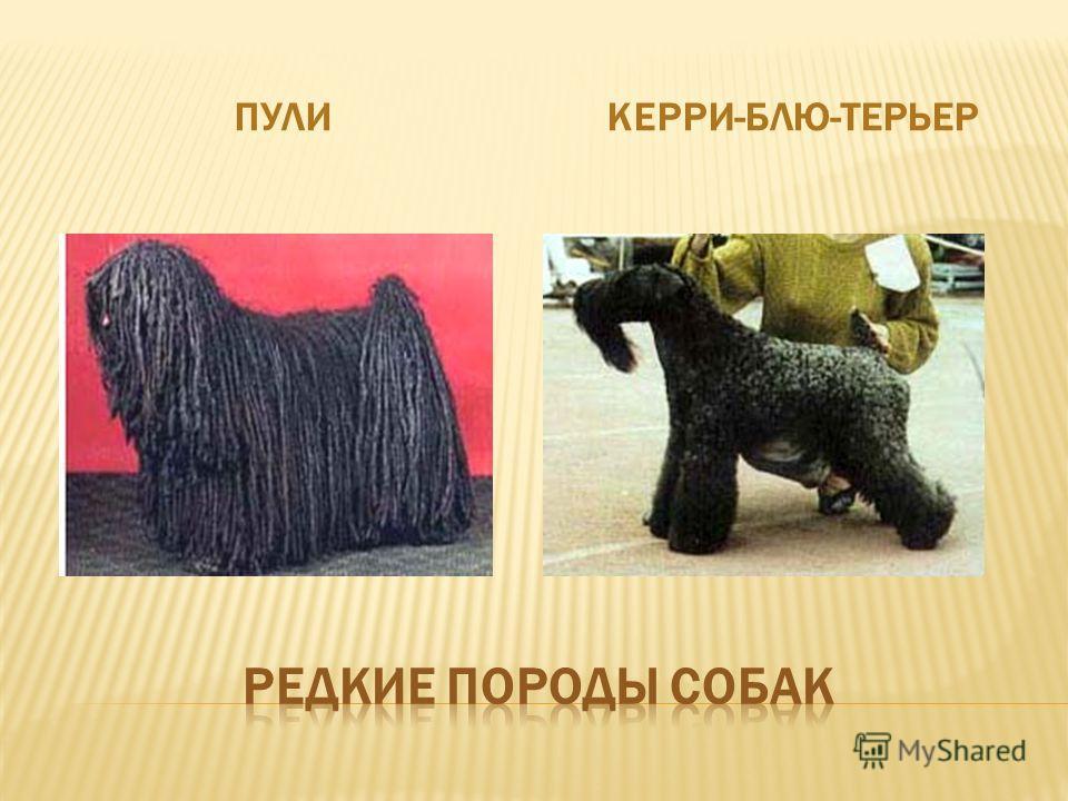 ПУЛИКЕРРИ-БЛЮ-ТЕРЬЕР